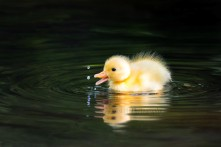 Duckling drops