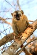 Red-fronted brown lemur